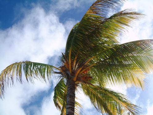 palm-tree-1531410