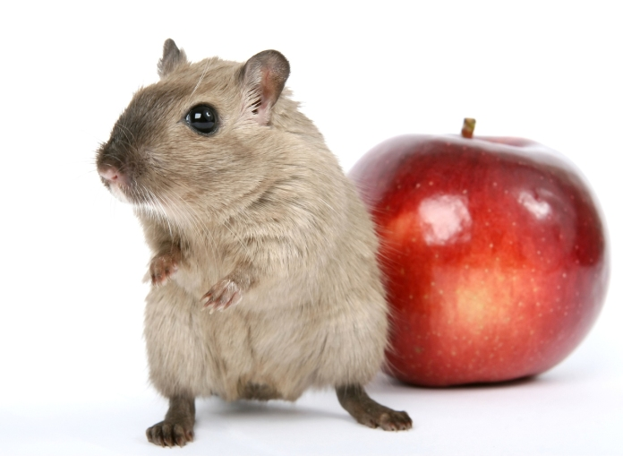 concept-photo-of-a-rodent-by-healthy-red-apple-1632270-1278x936